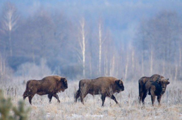 Bison walk in the 30 km (18 miles) exclusion zone around the Chernobyl nuclear reactor near the village of Babchin
