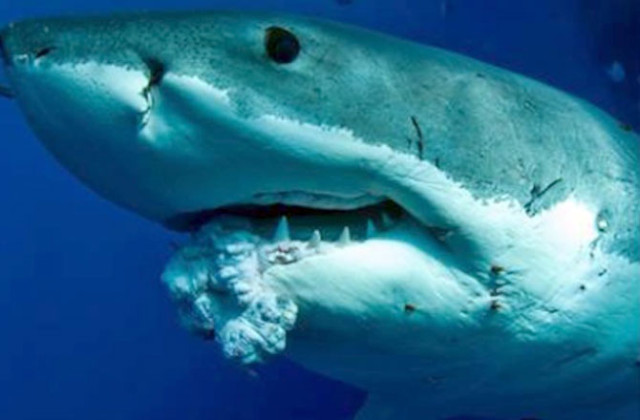 sharks-do-get-cancer-tumor-found-in-great-white-131205-670x440