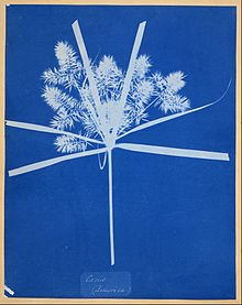 Photogram by Anna Atkins, Carix