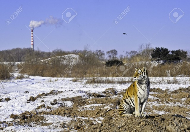 10820549-A-tiger-sits-as-a-smokestack-pollutes-the-air-and-his-habitat-is-destroyed-Stock-Photo