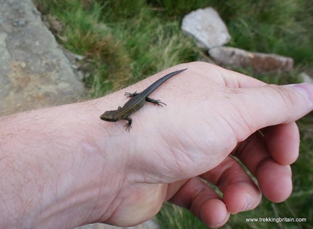 20110822N-Lizard_On_My_Hand_At_Near_Broadslate