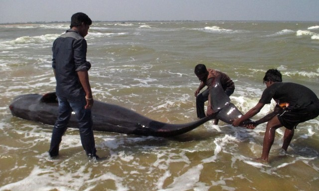Indian fishermen try to drag a whale that washed ashore in Manapad in Tamil Nadu's Tuticorin district, some 600 km south of Bangalore, on January 12, 2016.  Forty five whales have died after stranding themselves on a southern Indian beach, a government official said on January 12, with local fishermen struggling to save others.   AFP PHOTO