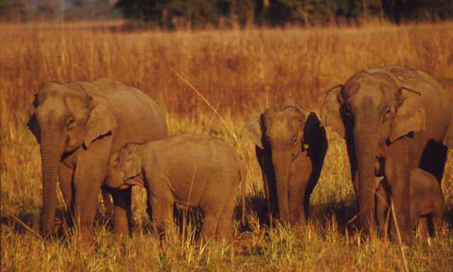 Elephas maximus bengalensis Indian elephant Females and young Corbett National Park, India
