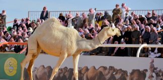 beauty pageants for camels