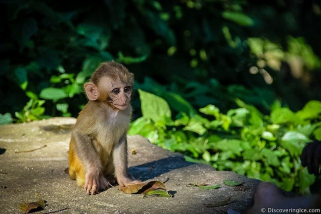 baby-monkey-monkey-temple-swayambhunath-kathmandu-nepal