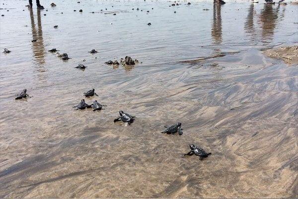 Sea Turtle Hatching