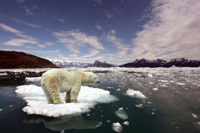 Polar bear on melting Arctic Ice